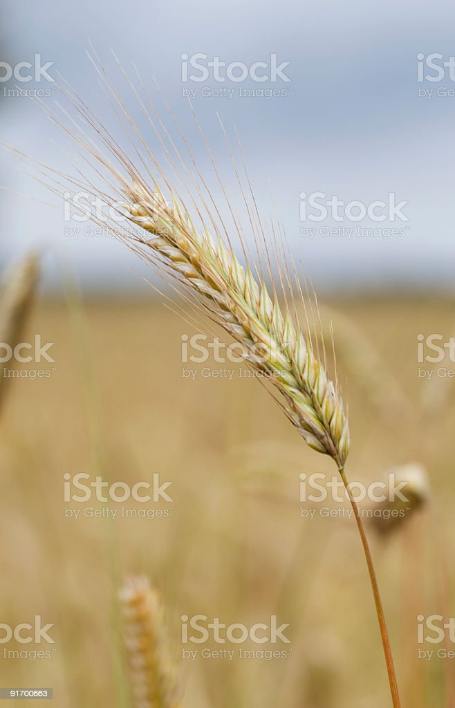 Wheat macro royalty-free stock photo