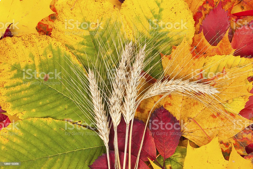 Wheat on autumn leaves royalty-free stock photo