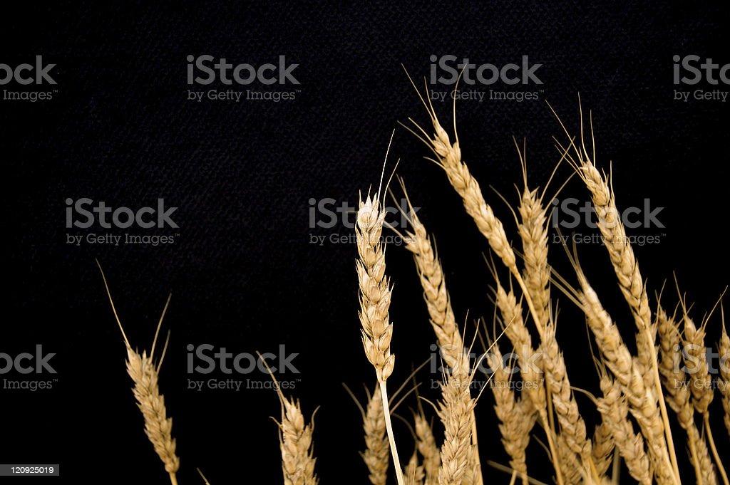 Wheat on Black stock photo