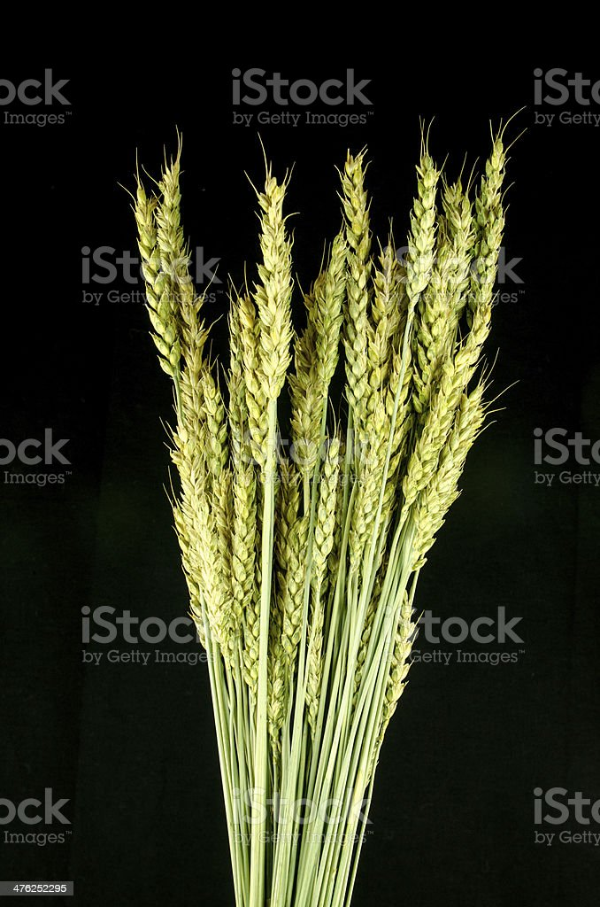 Wheat on Black royalty-free stock photo