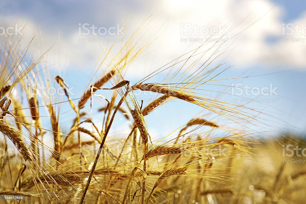 Wheat on blue sky royalty-free stock photo