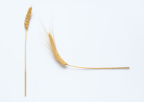 istock Wheat on white background close up 953221518