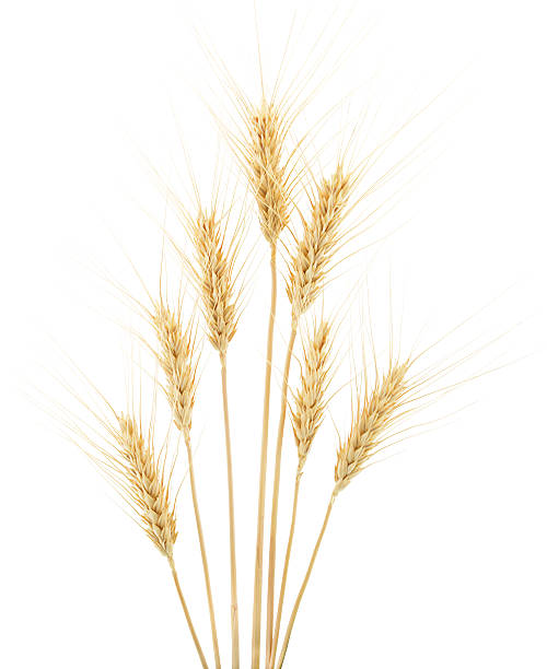 Wheat on White Wheat ears isolated on white background ear of wheat stock pictures, royalty-free photos & images