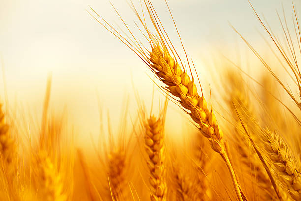 Wheat Golden wheat in a farm ear of wheat stock pictures, royalty-free photos & images