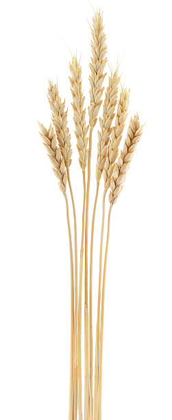 Wheat Wheat ears isolated on white background ear of wheat stock pictures, royalty-free photos & images