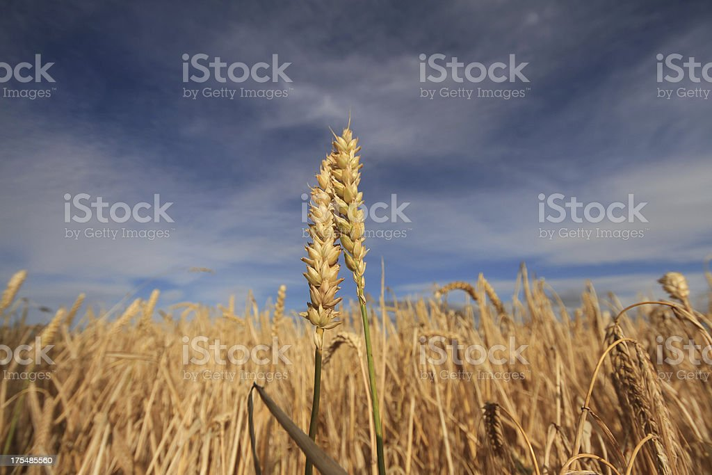 Wheat Two Ears Of Wheat Against A Dark Sky Agriculture Stock Photo