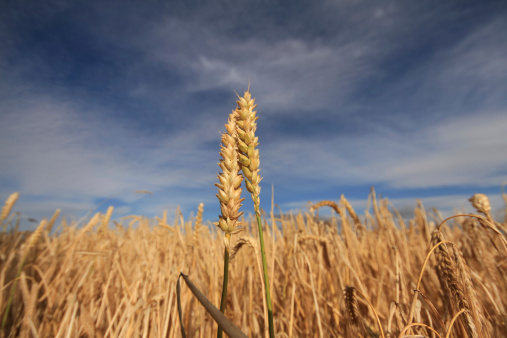 Wheat Stock Photo - Download Image Now