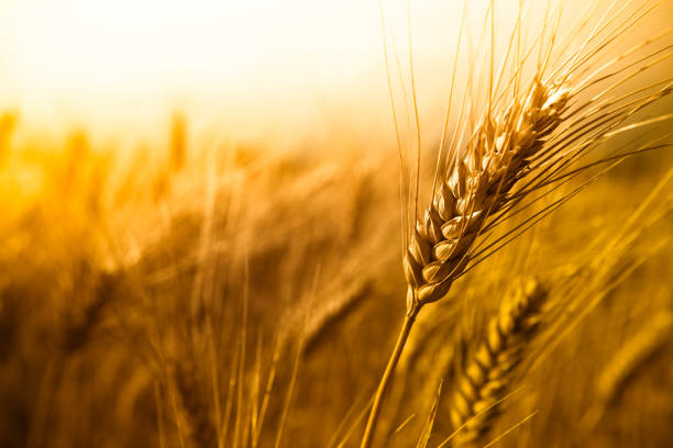 Wheat Magnification of wheat ear. crop plant stock pictures, royalty-free photos & images