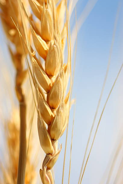 Wheat Clsose-up Wheat. oat crop stock pictures, royalty-free photos & images