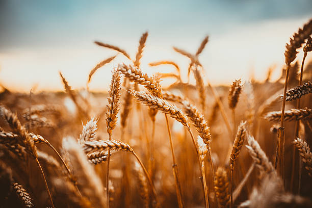 wheat - barley stock pictures, royalty-free photos & images
