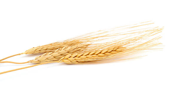 wheat wheat bundle isolated on white ear of wheat stock pictures, royalty-free photos & images