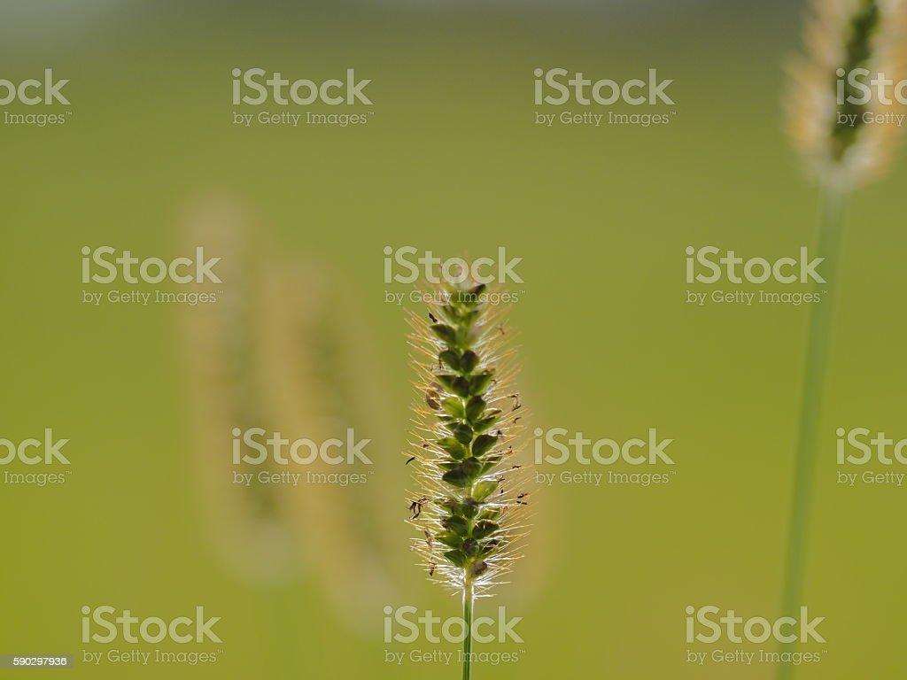 Wheat royaltyfri bildbanksbilder