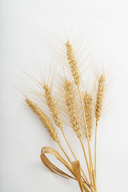 Wheat Wheat on white background. Studio shot ear of wheat stock pictures, royalty-free photos & images