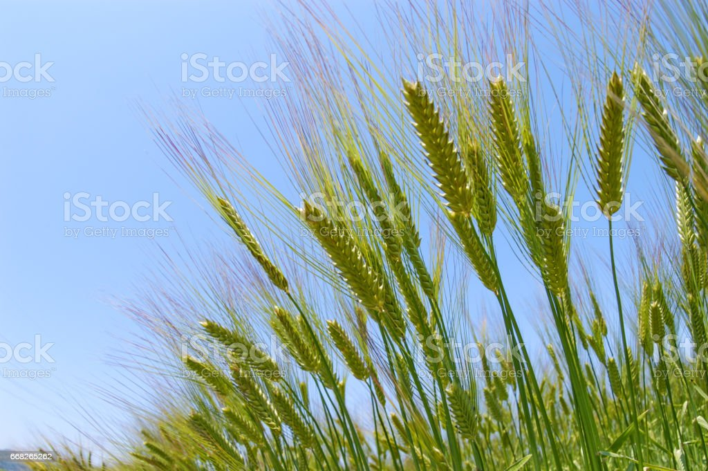 Wheat foto stock royalty-free