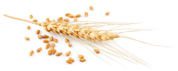 Wheat Wheat isolated on white background ear of wheat stock pictures, royalty-free photos & images