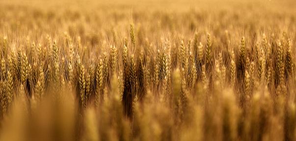 istock Wheat 692469594