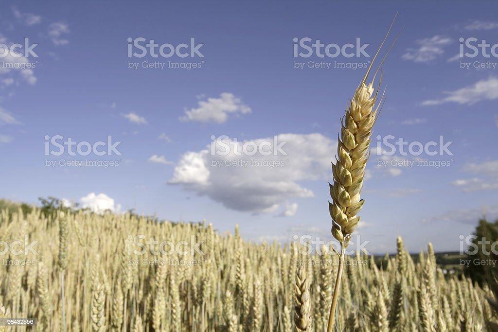 Di grano foto stock royalty-free