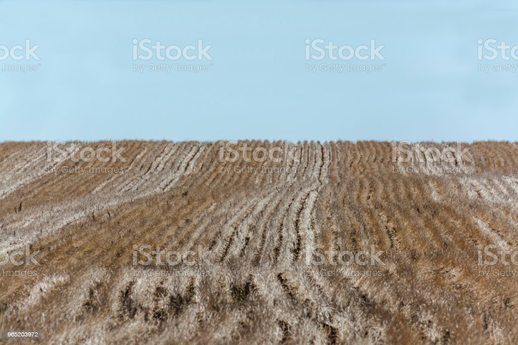 Wheat planting after harvest royalty-free stock photo