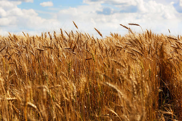 Wheat ready for harvest stock photo