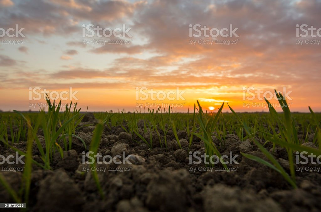 Wheat seedlings in field during sunset stock photo
