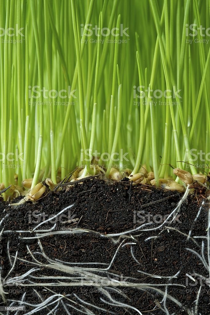 Wheat seedlings royalty-free stock photo