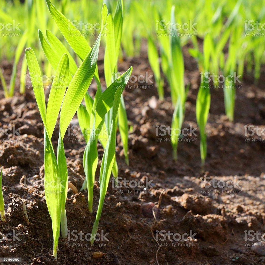 Wheat seedlings. stock photo