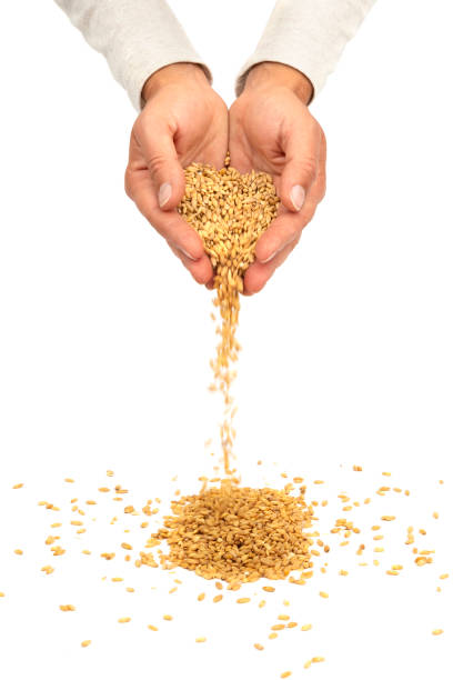 Wheat seeds pouring from hands isolated on white. New harvest concept