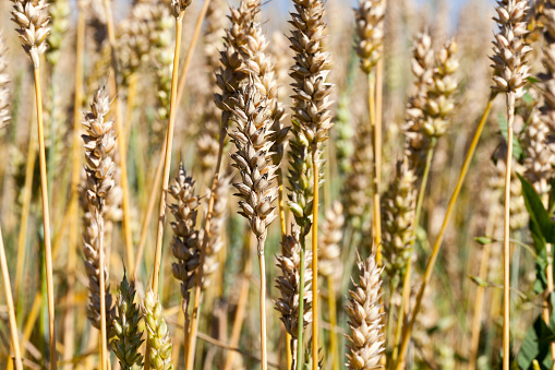 wheat spikelets in the field in the summer, ready for harvest grain