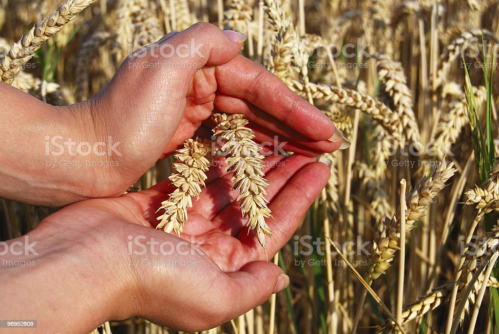Wheat spikes between palms royalty-free stock photo