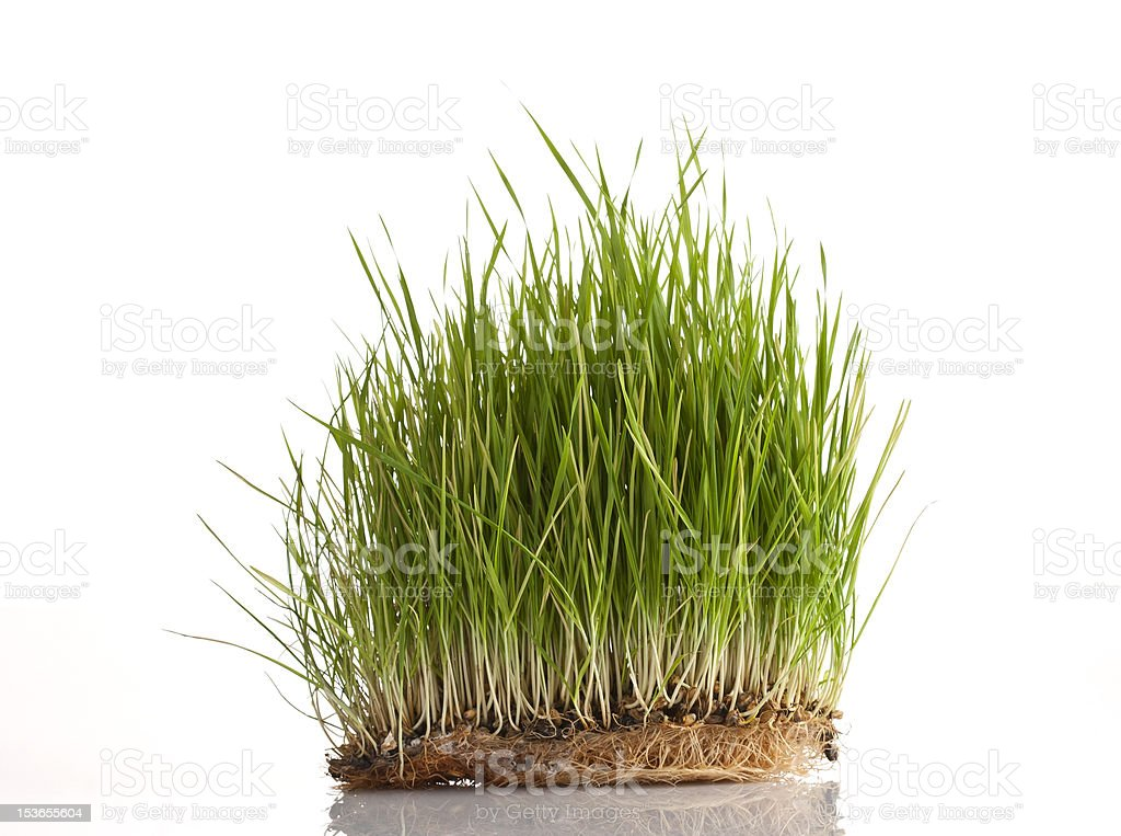 Wheat sprouts isolated on white royalty-free stock photo