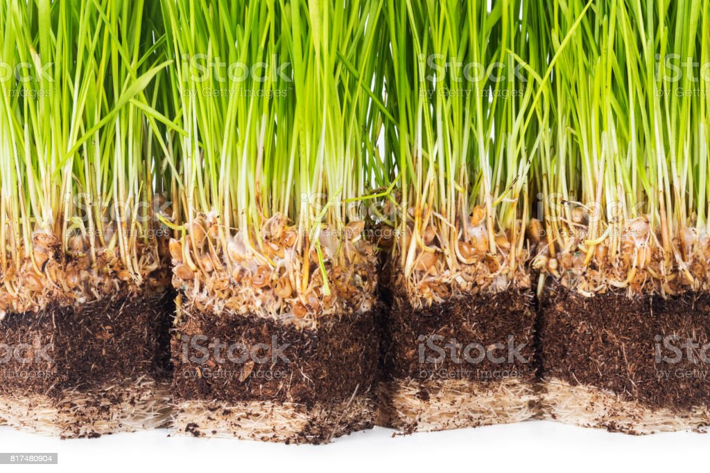 Wheat sprouts stock photo