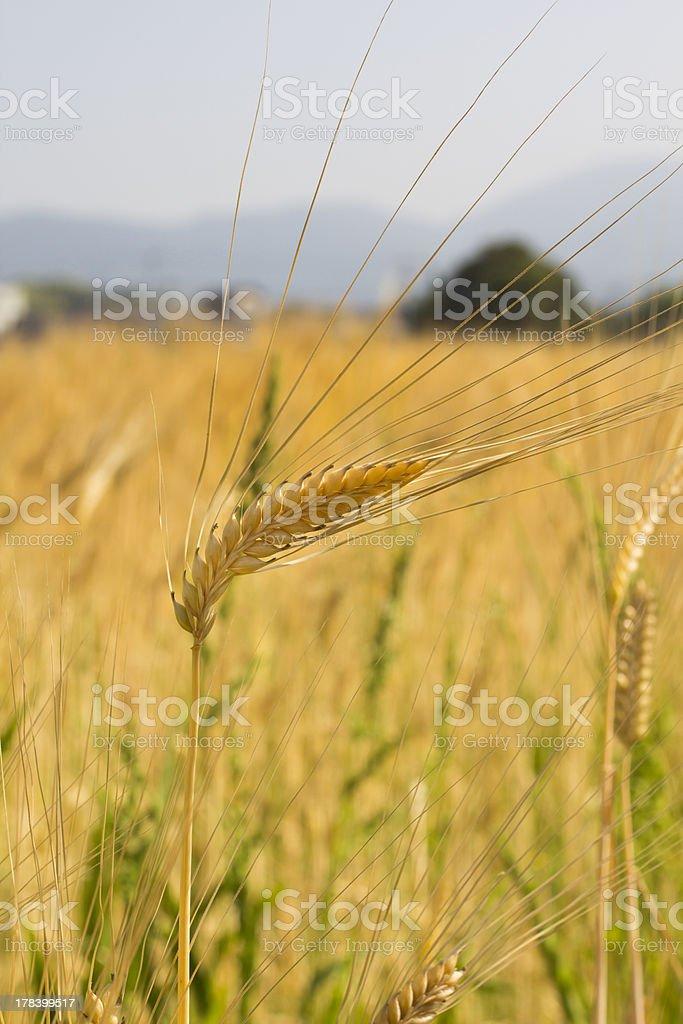 Wheat Stalk royalty-free stock photo