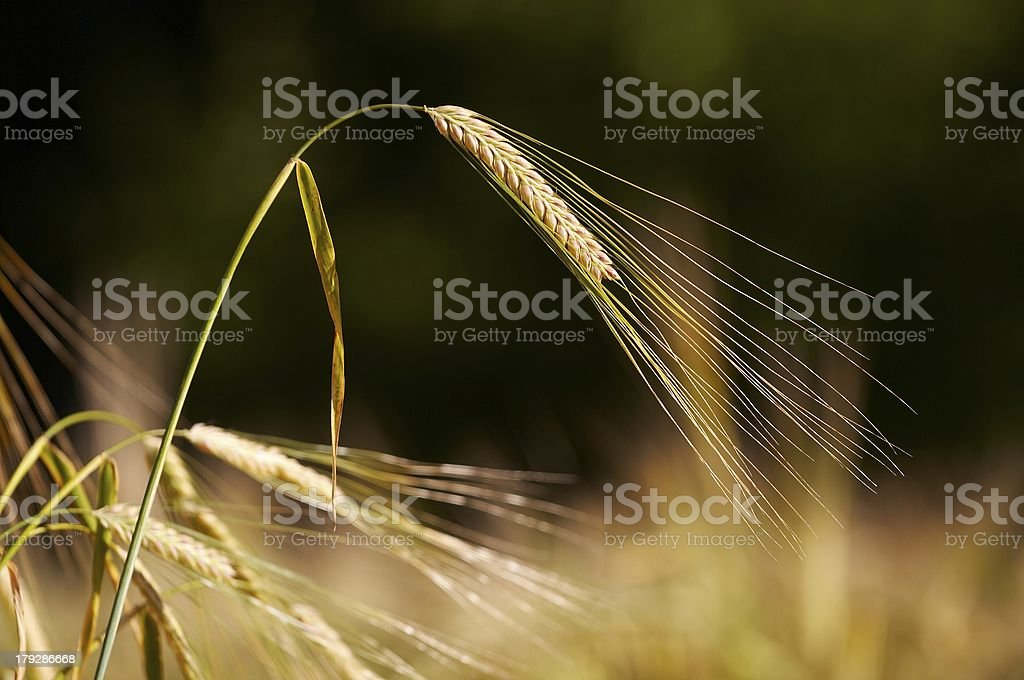 Wheat Stem With Blurred Background royalty-free stock photo