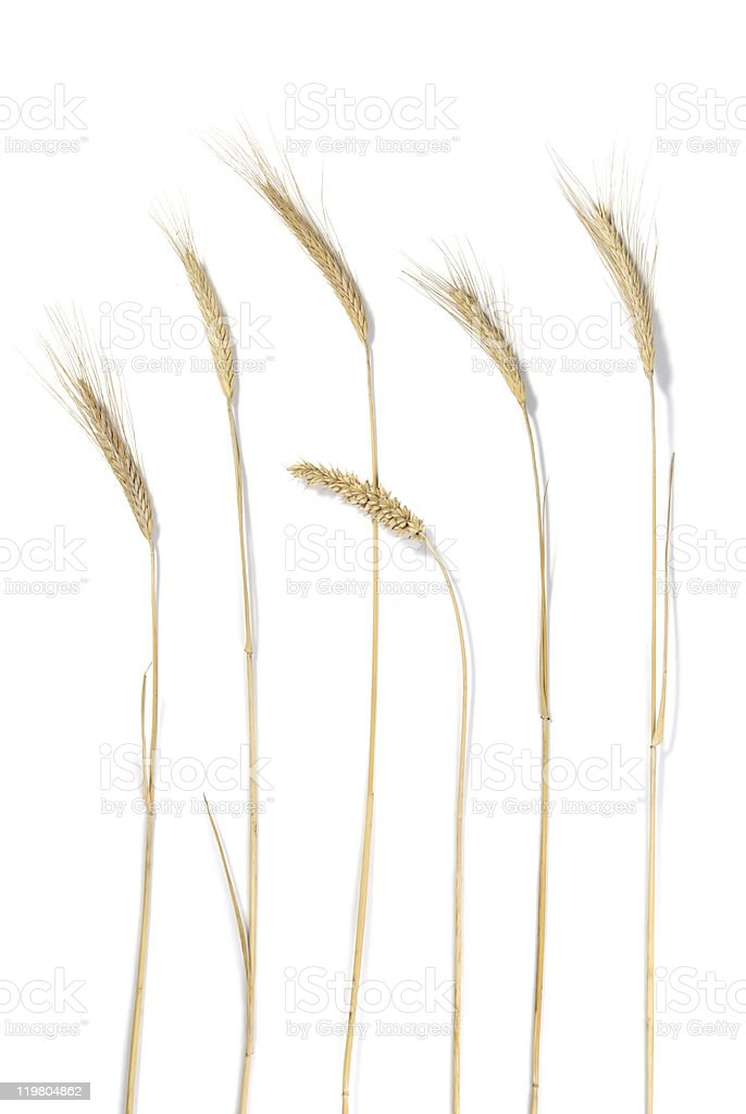 Wheat stems royalty-free stock photo