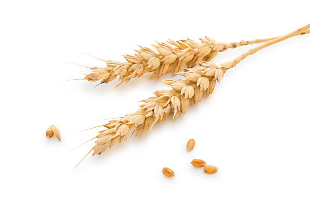 Wheat stems. Wheat stems isolated on white. spelt stock pictures, royalty-free photos & images
