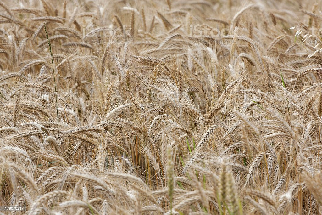 Wheat straws on a summer day in the field royalty-free stock photo