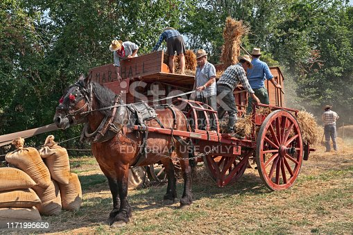 men re-enacting the old agricultural works with an ancient threshing machine and a horse-drawn cart loaded with ears of corn during the country fair Wheat Festival on August 25, 2019 in Bastia, Ravenna, Italy