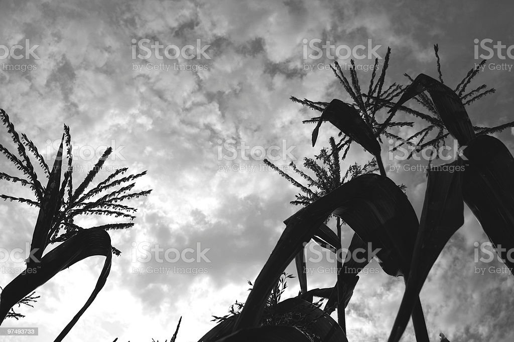 Wheat to the sky B/W royalty-free stock photo