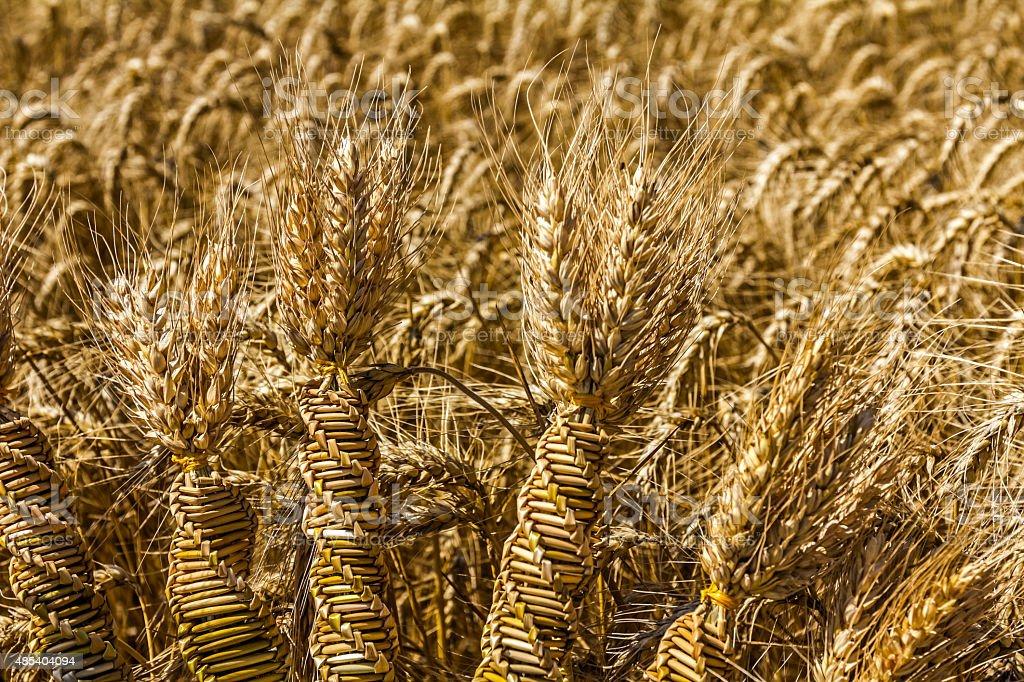 Trigo weaving, trenzados como una variedad de cereales del ADN. foto de stock libre de derechos
