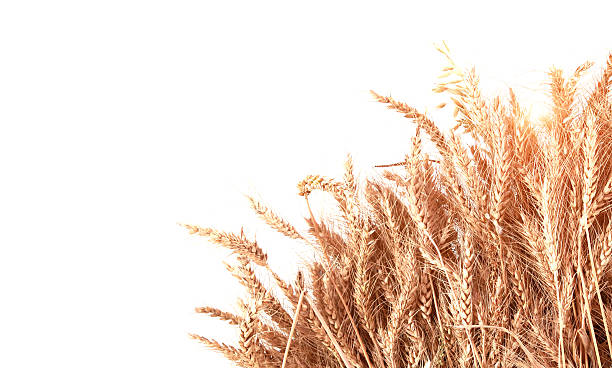 Wheat With Copy Space Golden Wheat with copy space isolated on white background.  ear of wheat stock pictures, royalty-free photos & images
