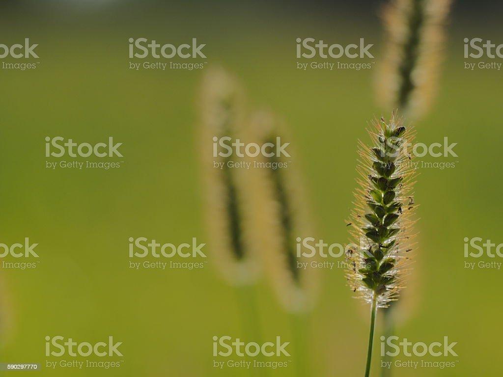 Пшеница с местом для копии Стоковые фото Стоковая фотография