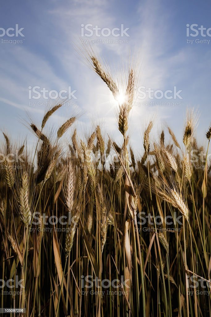 wheat with sun stock photo