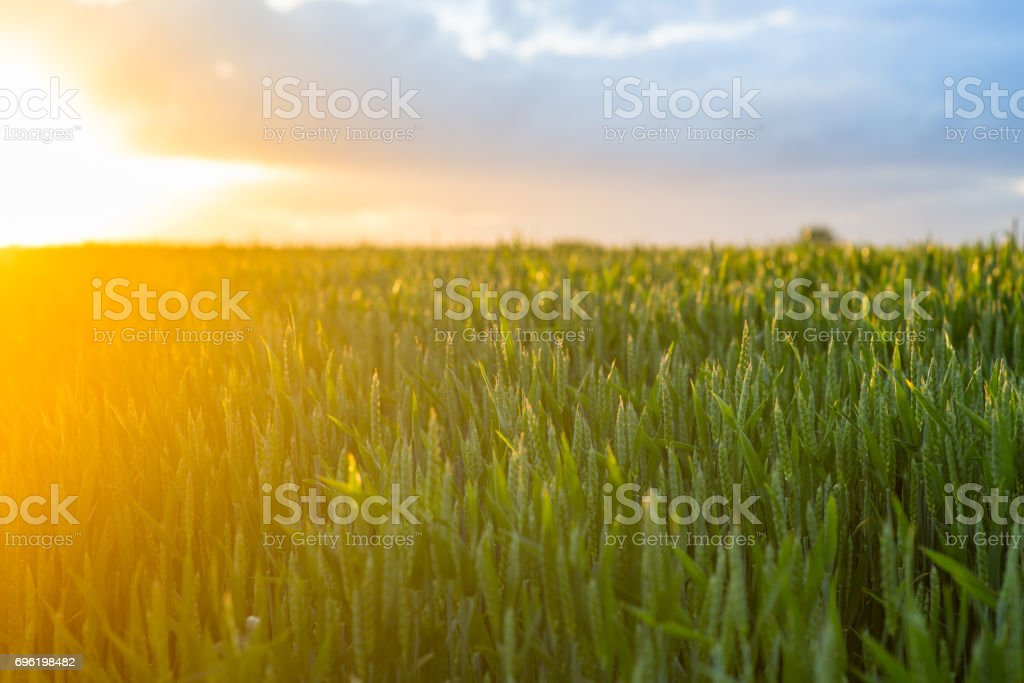 Wheat_sunset stock photo