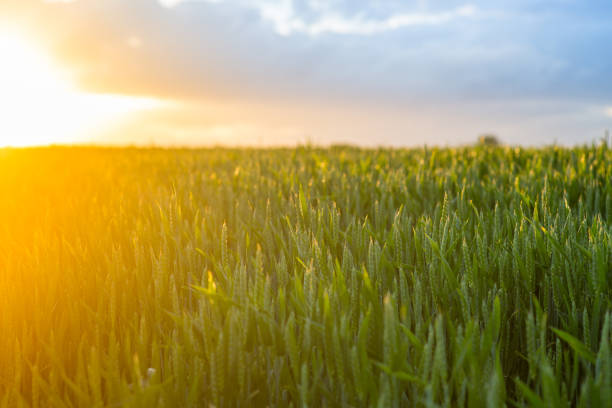 wheat_sunset - organic farm stock photos and pictures