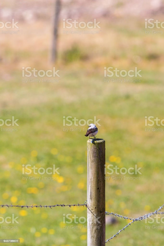 Wheatear bird stock photo