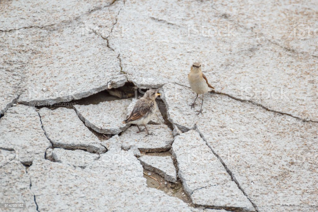 Wheatear chick asks for food from his mother stock photo