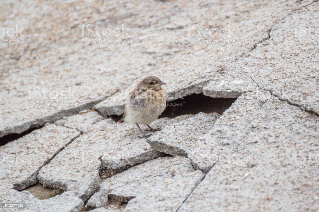 Wheatear chick near the broken concrete slab stock photo