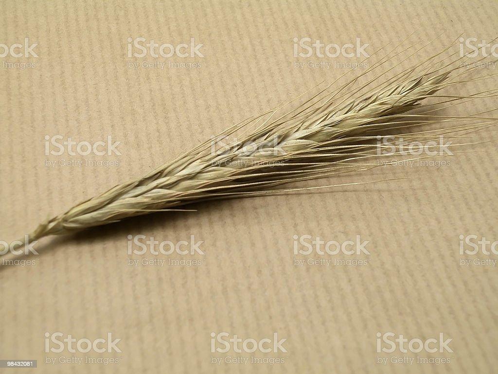 wheatear royalty-free stock photo