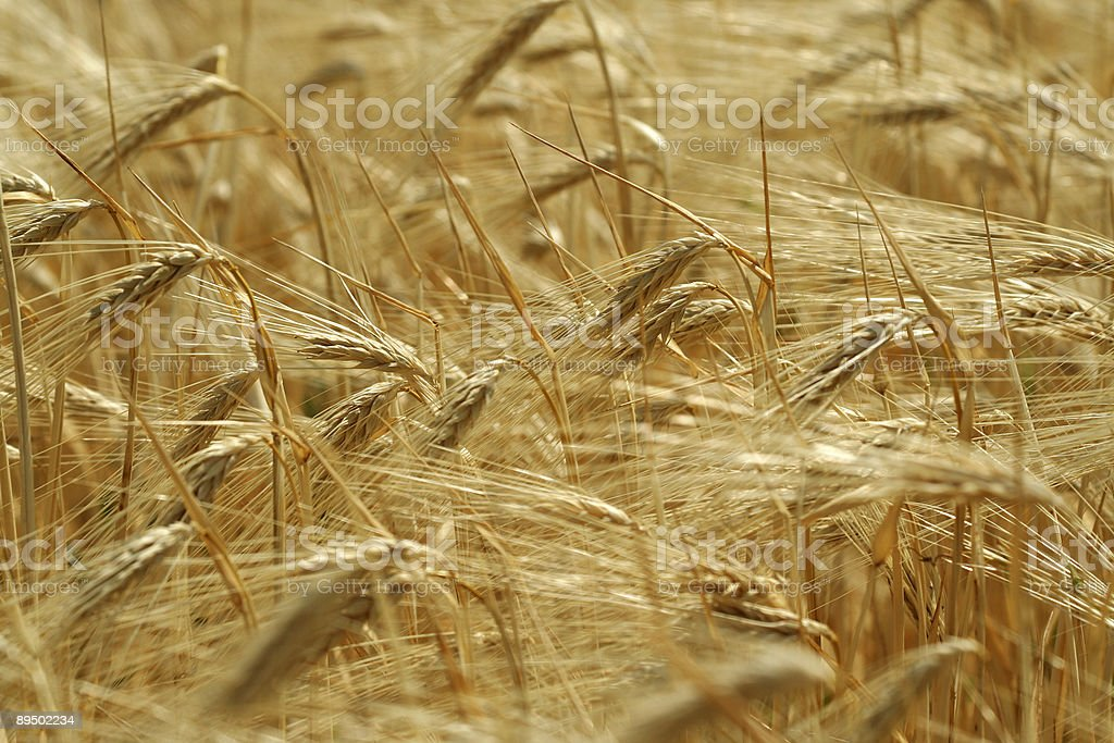 Wheaten field / gold ears royalty-free stock photo