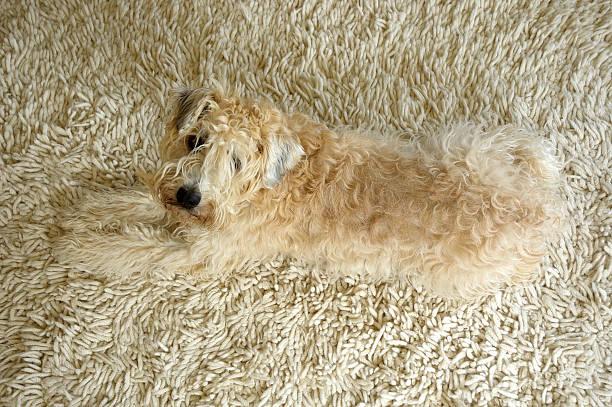 Wheaten terrier on rug picture id157285933?b=1&k=6&m=157285933&s=612x612&w=0&h=fp2 2g0o14zm2ib3 mass1izbenexnu2nyisej bfcw=